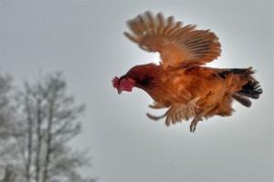 vuelo-mas-largo-que-ha-hecho-una-gallina